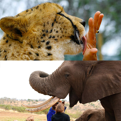 Elephant and cheetah interaction