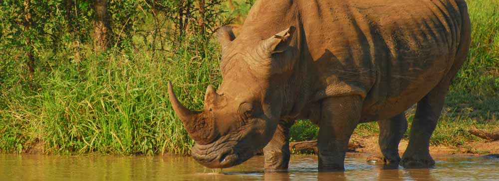 Tailor Made Safaris - Hlane Royal National Park - Rhino