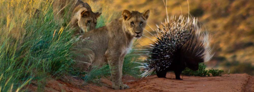 tailor made safaris - Kgalagadi Transfrontier Park - lion