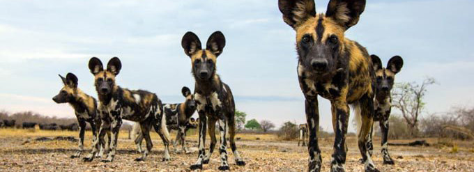 tailor made safaris - Madikwe Game reserve - wild dogs