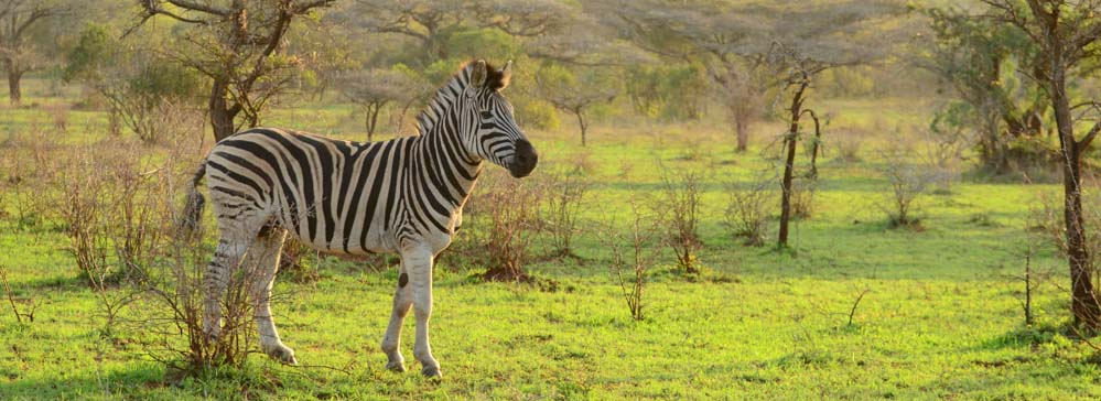 tailor made safaris - Mkuze game reserve - zebra