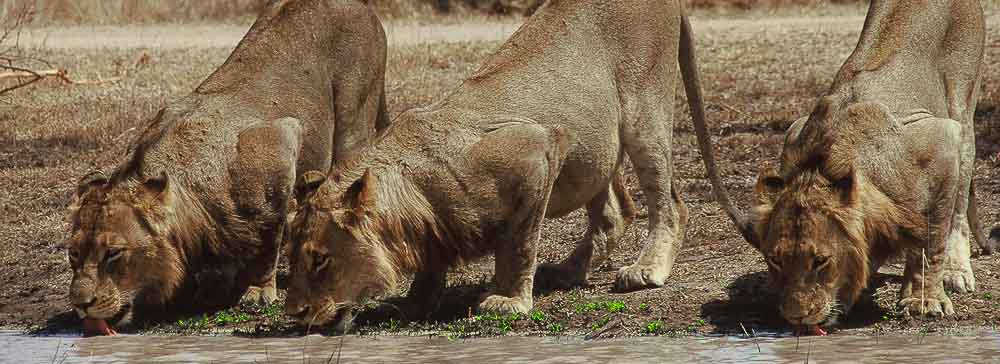tailor made safaris - Pilanesberg national park - lions
