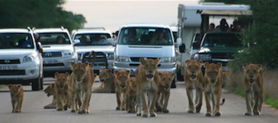 Crowded game drive
