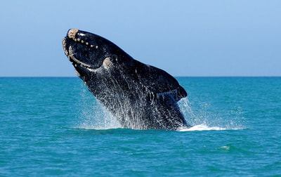 Tailor Made Safaris - Whale watching in Cape Town