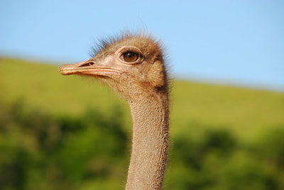 Tailor Made Safaris - Ostrich farm visit