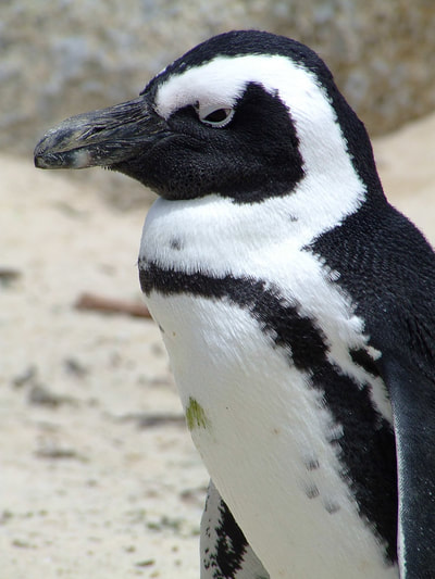 Tailor Made Safaris - Cape point penguins