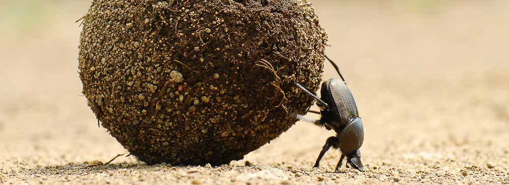 Tailor made safaris - dung beetle