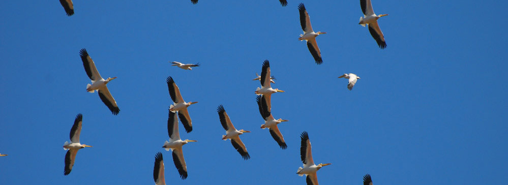 Tailor made safaris - migrating pelicans