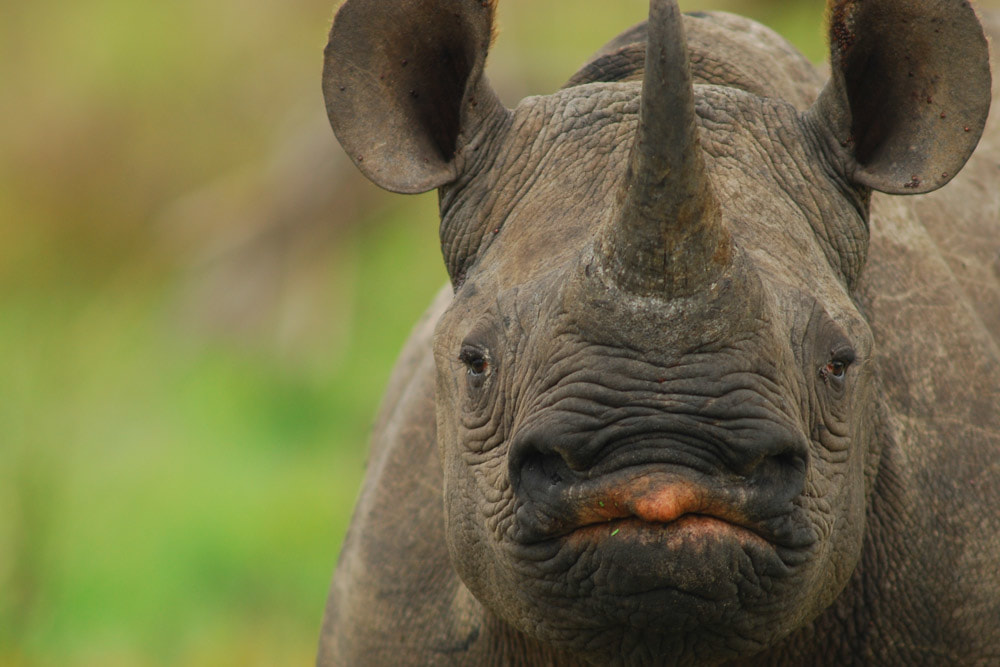 Tailor Made Safaris - Tembe Elephant Park - Black Rhino 02