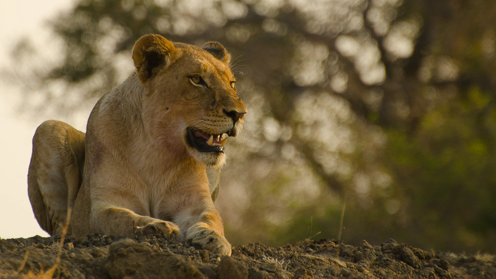 Tailor Made Safaris - Timbavati - Shindzela Tented Camp - Lion 01