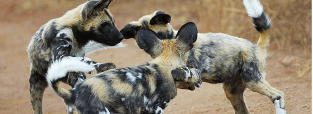 tailor made safaris - thanda private game reserve - wild dogs