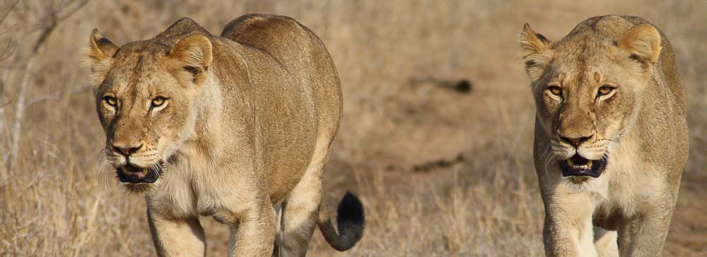 tailor made safaris - Timbavati private game reserve - lions